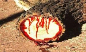 Τα δέντρα που αιμορραγούν στον τόπο του Μαρτυρίου του Αγίου Νικολάου του Νέου