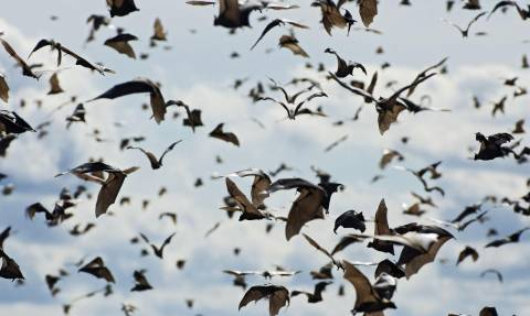 Τρόμος από τον ιό Νίπα που μεταδίδεται από τις νυχτερίδες - Είναι θανατηφόρος στο 70% των κρουσμάτων
