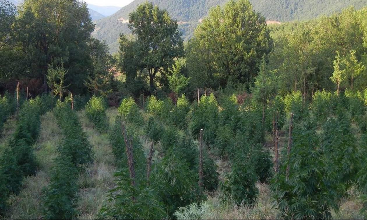 Ρέθυμνο: Εντοπίστηκε φυτεία με εκατοντάδες δενδρύλλια κάνναβης - Τέσσερις συλλήψεις