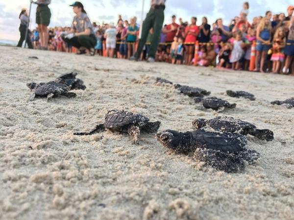 kemps turtles