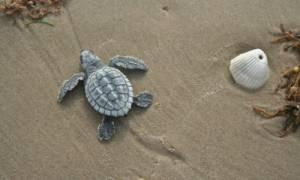 Μαγικό θέαμα: Δεκάδες σπάνιες χελώνες απελευθερώθηκαν στον Κόλπο του Μεξικού (Pics+Vid)