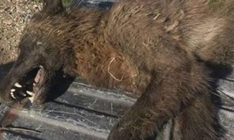 Δεν ήταν λύκος, ούτε αρκούδα! Μυστηριώδες πλάσμα «πονοκεφαλιάζει» τους ειδικούς