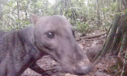 Σκύλος της ζούγκλας: Είναι αυτό το πιο σπάνιο ζώο του κόσμου; (pics+vid)