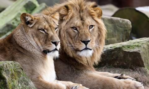 Γερμανία: Τα λιοντάρια και οι τίγρεις που «δραπέτευσαν» δεν βγήκαν ποτέ από τα κλουβιά τους!
