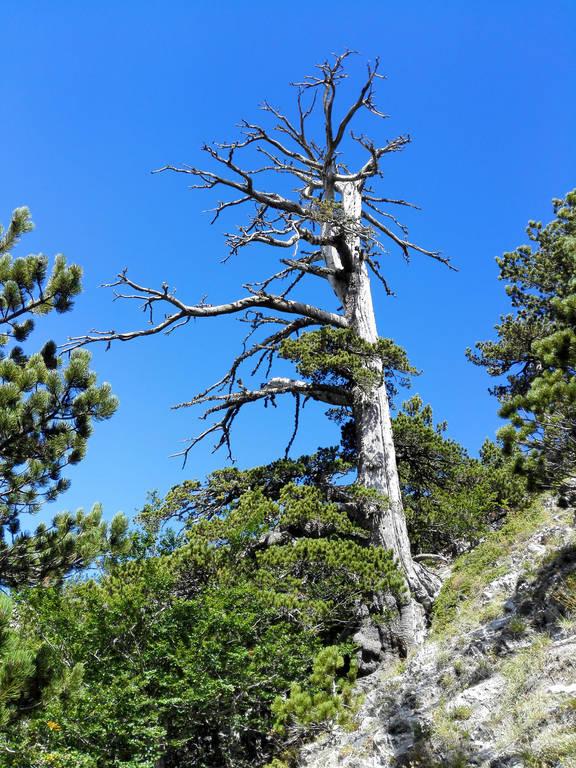 Πόσο χρονών είναι το το γηραιότερο δέντρο στην Ευρώπη