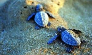 Kαρέτα- καρέτα: Απειλείται ο γηραιότερος κάτοικος των ελληνικών θαλασσών
