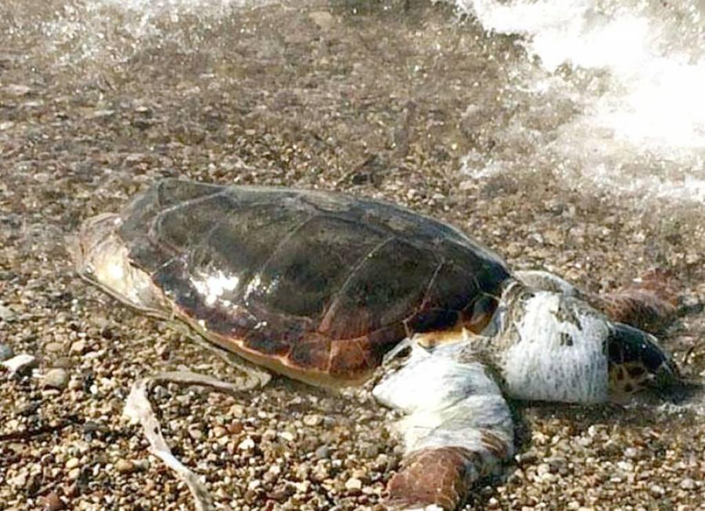 Εντοπίστηκε στο Πόρτο Xέλι νεκρή χελώνα καρέτα καρέτα