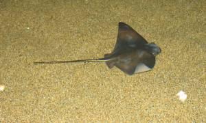 Σαλάχι 35 κιλών στα δίχτυα ψαρά στο Δέλτα του Έβρου (pic)
