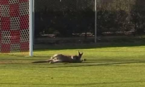 Εισβολή καγκουρό σε ποδοσφαιρικό αγώνα: Έκανε τον... τερματοφύλακα! (vid)