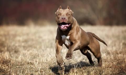 Πρωτοφανές περιστατικό στο Αργοστόλι: Πιτμπουλ επιτέθηκαν στο σκυλί του και τα σκότωσε με μαχαίρι
