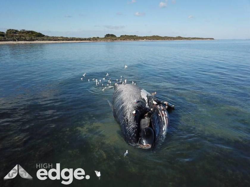 Κίνδυνος έκρηξης! Μάχη με το χρόνο πριν εκραγεί το κουφάρι τεράστιας φάλαινας (Pics)