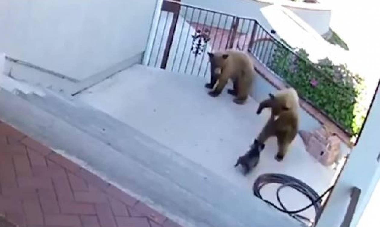 Αυτός ο σκύλος μάλλον είναι… Κρητικός: Δείτε τον να τα βάζει με δύο αρκούδες! (vid)