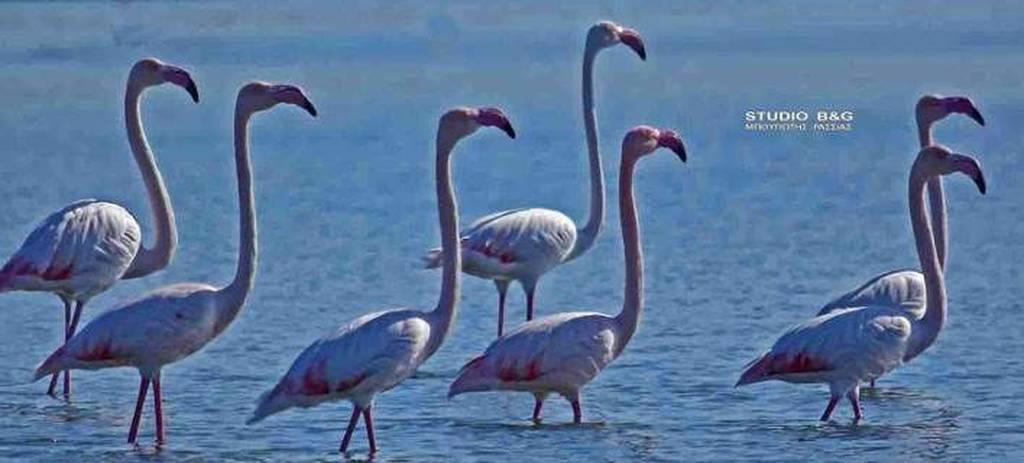 Φλαμίνγκο έκαναν την εμφάνισή τους στο Ναύπλιο