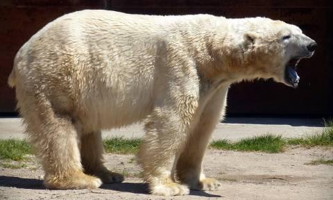 Τραγωδία: Πολική αρκούδα κατασπάραξε άνδρα που προσπάθησε να σώσει τις κόρες του