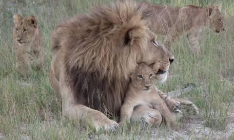 Νότια Αφρική: Λιοντάρια κατασπάραξαν λαθροθήρες σε καταφύγιο άγριων ζώων