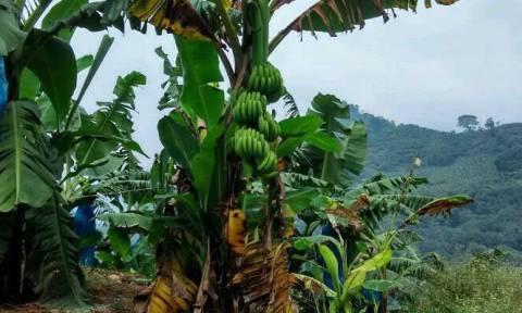 Οι μπανάνες απειλούνται με εξαφάνιση