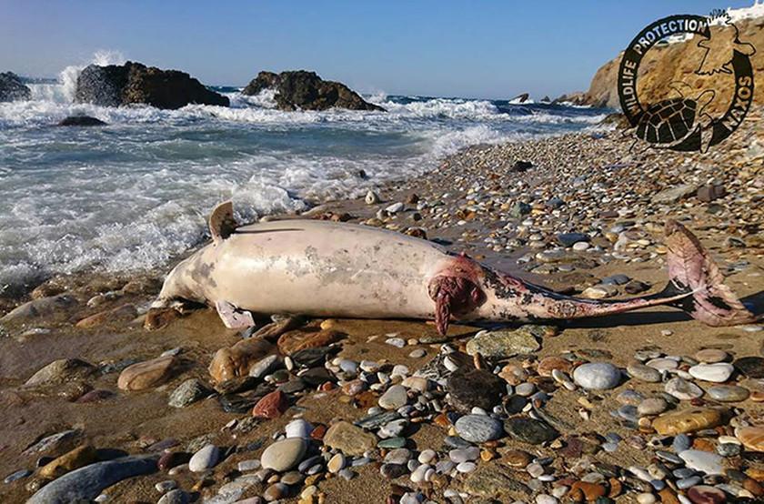 Θλιβερές εικόνες: Νεκρό δελφίνι ξεβράστηκε στη Νάξο (pics)