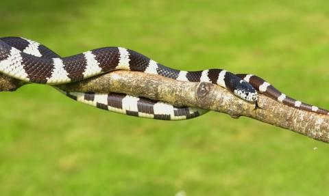 Bandy-bandy: Αυτό είναι το νέο δηλητηριώδες φίδι που ανακάλυψαν επιστήμονες