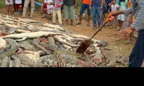 Ινδονησία: Ήθελαν να εκδικηθούν για το θάνατο συγχωριανού τους και σκότωσαν 292 κροκόδειλους (pics)