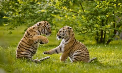 На Кипре в зоопарке Пафоса родились два тигренка