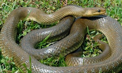Ναύπακτος: Φίδι μήκους 1,5 μέτρου μπήκε μέσα σε μηχανή αυτοκινήτου