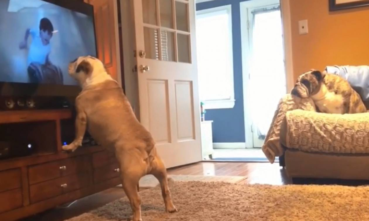 Απίστευτη αντίδραση σκύλου σε ταινία τρόμου: Τρελάθηκε το μπουλντόγκ (vid)