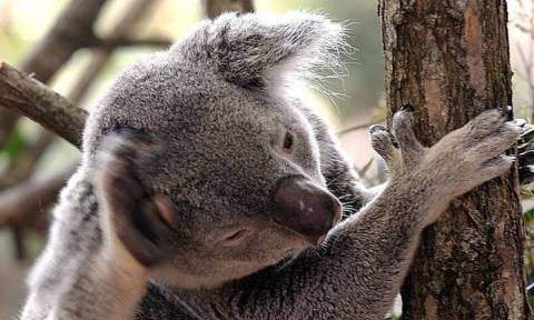 Αυστραλία: Οι κάτοικοι κόβουν δέντρα για να προστατευθούν και τα κοάλα πεθαίνουν από την πείνα