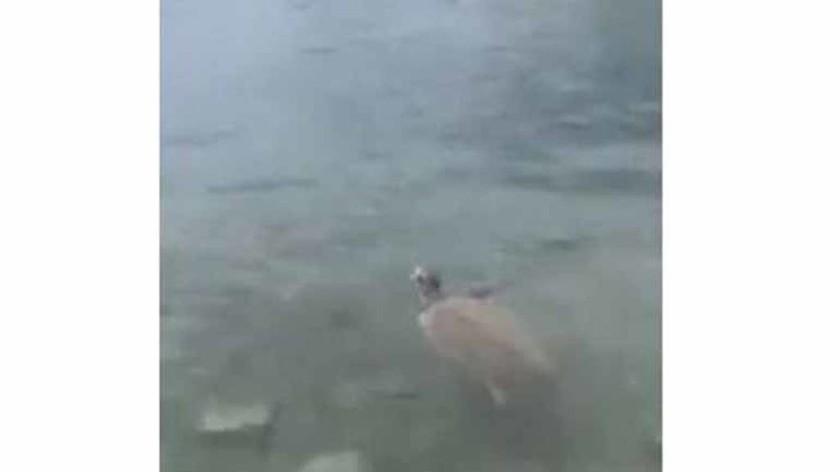 Θαλάσσια χελώνα στο Πόρτο Ράφτη - Δάγκωσε λουόμενους