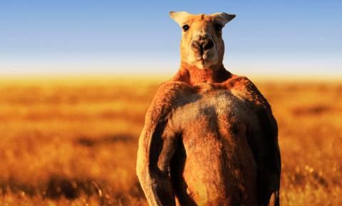 Αυστραλία: Γιατί οι κτηνοτρόφοι σκοτώνουν τα καγκουρό λόγω... ξηρασίας;
