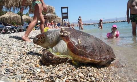 Nεκρή χελώνα Καρέτα - Καρέτα εντοπίστηκε στη Μάνη