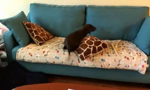 Ο σκύλος τα έβαλε με τον καναπέ: Μάντεψε ποιος κέρδισε (vid)