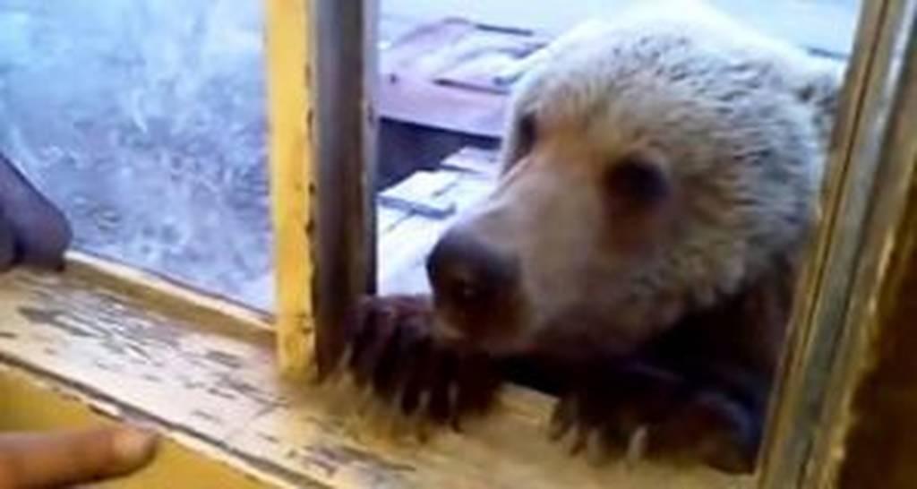 Πεινασμένη αρκούδα μπαίνει στο παράθυρο αποθήκης  - Δεν φαντάζεστε πώς αντέδρασε εργάτης (vid)