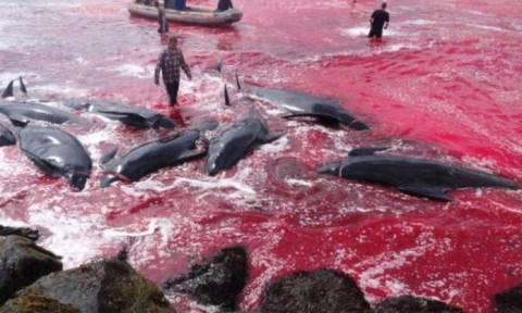 Η θάλασσα βάφτηκε κόκκινη: Σκληρές εικόνες από τη μαζική σφαγή φαλαινών στα νησιά Φερόε