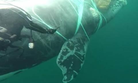 Χιλή: Διάσωση φάλαινας από δίχτυα που κόβει την ανάσα (video)
