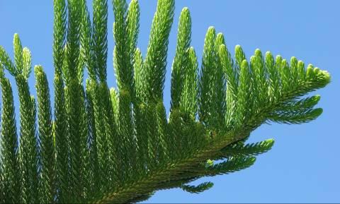 Αροκάρια: Το δέντρο που κινδυνεύει να εξαφανιστεί από τον πλανήτη (Pics)