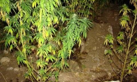 Σέρρες: Δύο συλλήψεις για καλλιέργεια κάνναβης