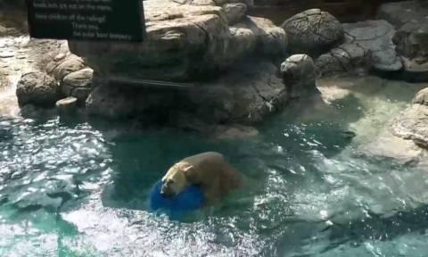 Viral: Πολική αρκούδα εναντίον μπάλας σημειώσατε… 2! (vid)