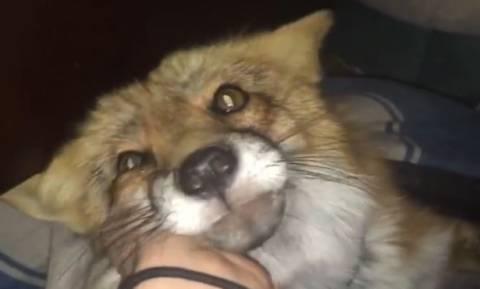 Όλο πονηριά η αλεπού: Δείτε τι σκαρφίζεται για να μη βγει έξω (vid)