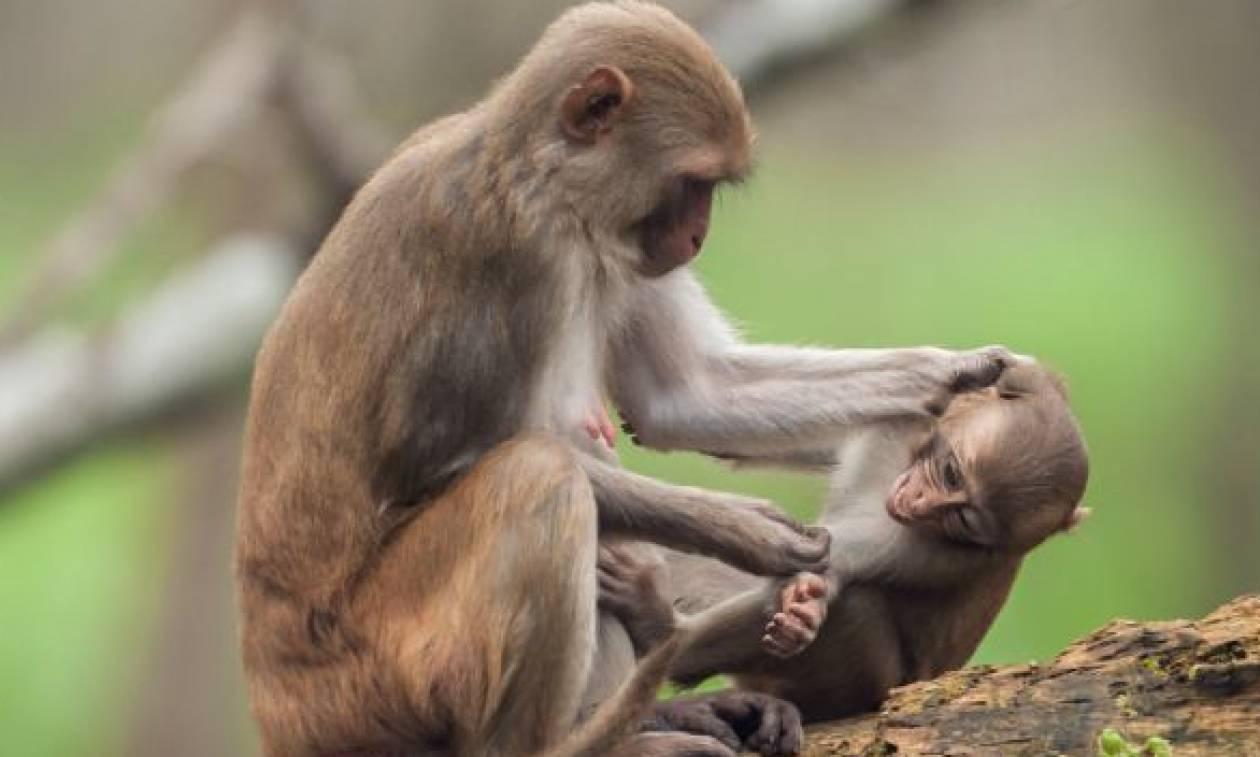 Δείτε την απίστευτη αντίδραση μαϊμούς όταν κοπέλα θέλησε να βγάλει selfie με το μικρό της (vid)