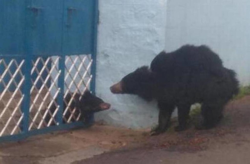 Μικρό αρκουδάκι προσπαθεί να σωθεί ενώ έχει σφηνώσει σε πόρτα (vid)