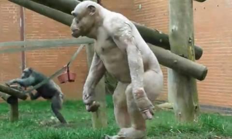 Το βίντεο της ημέρας: Μαϊμούδες περπατούν σαν άνθρωποι…