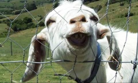 Οι κατσίκες «διαβάζουν» τη γλώσσα του σώματος και προτιμούν τους... χαρούμενους ανθρώπους