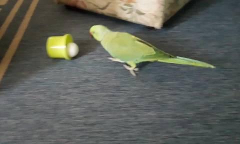 Αυτός ο παπαγάλος δεν χάνει γκόλ... (vid)