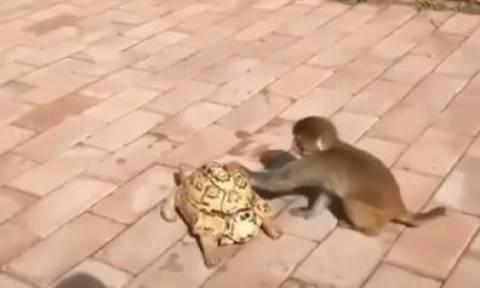 Όταν η χελώνα πάει αργά, μια μαϊμού σώζει την κατάσταση (vid)
