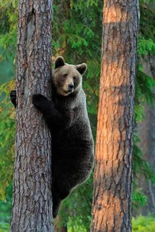 Δείτε καφέ αρκούδα να ξύνεται σε δέντρο (vid)