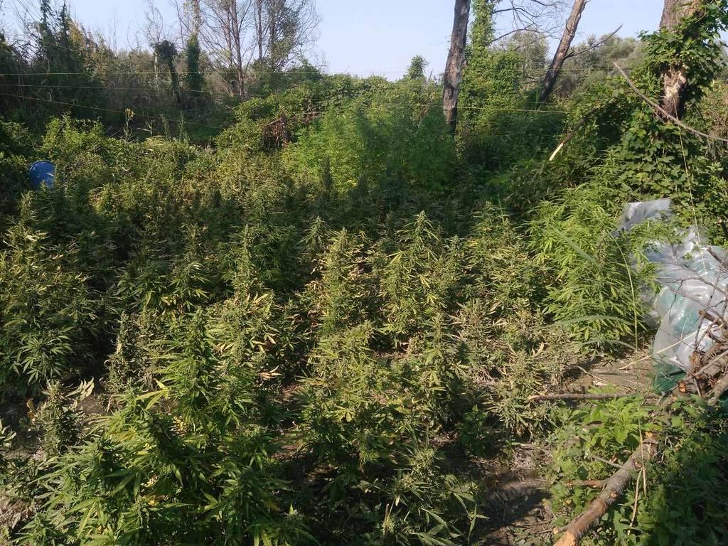 Θεσσαλονίκη: Εντοπίστηκε φυτεία μαμούθ με 1.100 δενδρύλλια κάνναβης - Συνελήφθη 36χρονος