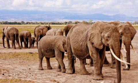 Γδαρμένοι και με κομμένα κεφάλια: Μαζική σφαγή ελεφάντων από λαθροκυνηγούς στην Μποτσουάνα