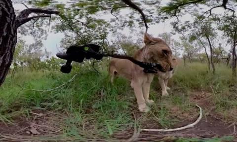 Πεινασμένο λιοντάρι τρώει την κάμερα φωτογράφου (vid)