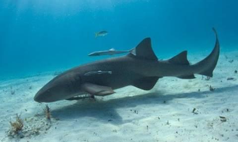Αυτός είναι η ντροπή όλων των καρχαριών! Τρώει μόνο...