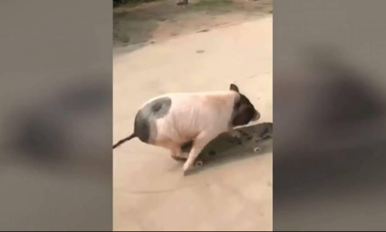 Κι όμως δεν σας γελούν τα μάτια σας - Ένα γουρούνι κάνει σκέιτ (vid)